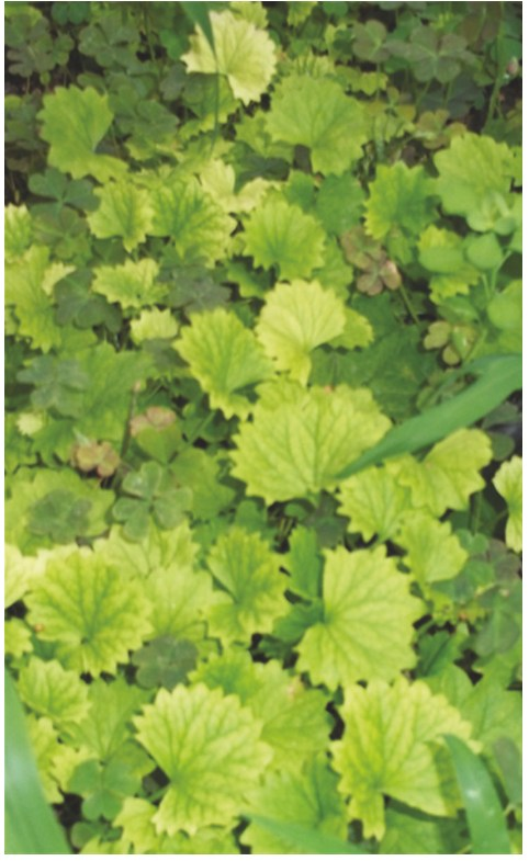 PDF] Centella asiatica (L ) Urban: From Traditional Medicine
